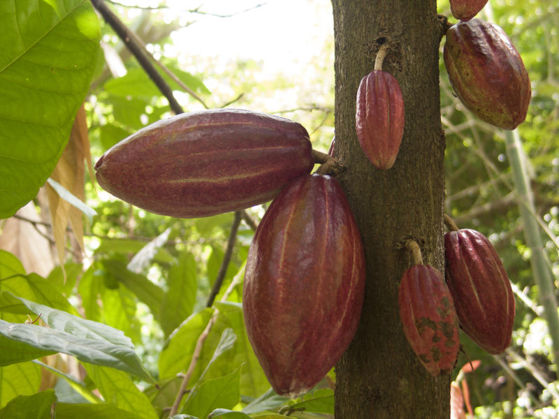 Cacao beans in a cacao Theobroma cacao plantation in the town of chuao near choroni on the caribbean coast in Venezuela. Cacao from Venezuela is famous around the world for better properties