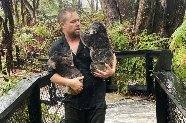 Wet and woolly: Koalas at one Australian zoo were at risk from wildfires last week, but got drenched in torrential rain on Friday