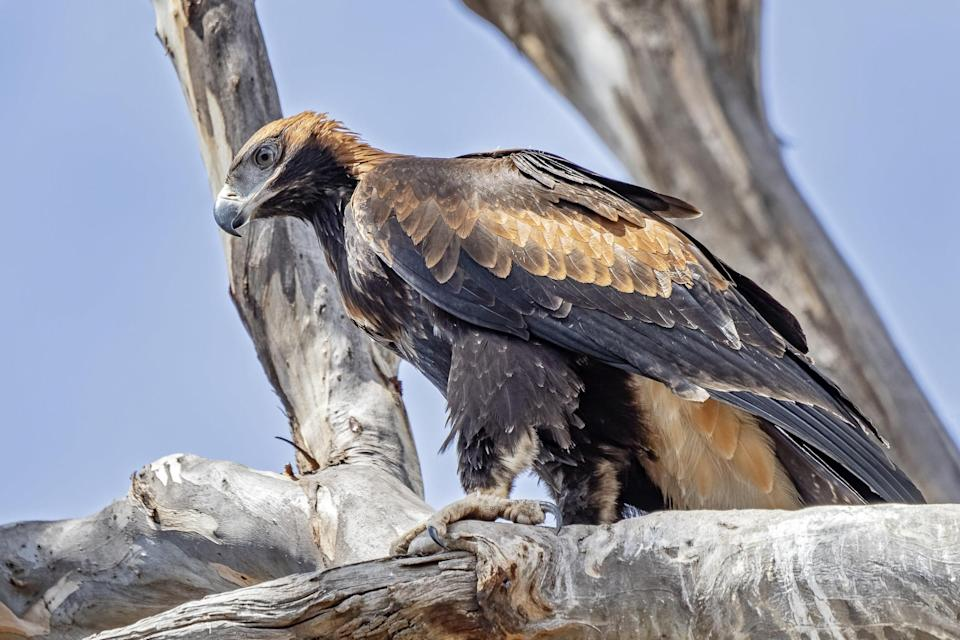 A female wedge-tailed eagle perched in a tree