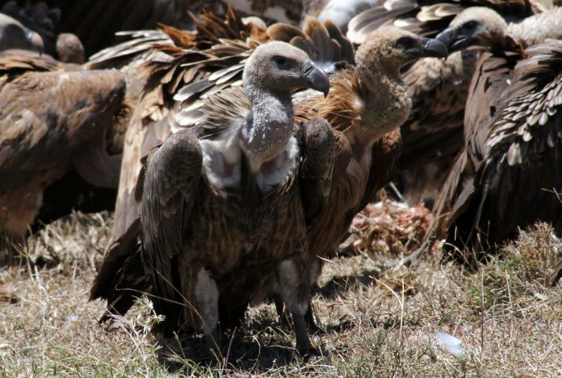 A committee of vultures gather for scavenging at the Ol Pejeta Conservancy near Nanyuki, in Laikipia county