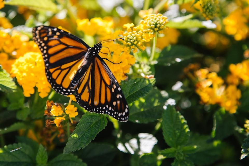Monarch butterfly/Unsplash