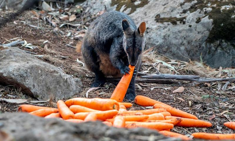 A wallaby eats a carrot air-dropped in bushfire-hit areas around Wollemi and Yengo national parks by the NSW National Parks and Wildlife Service. Photograph: NSW Department of Planning, Industry and Environment/Reuters
