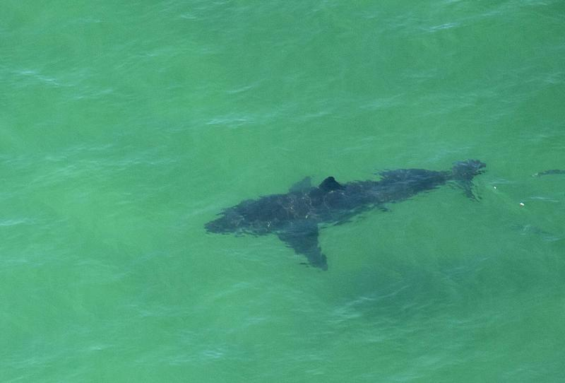 A Great White Shark swims off the shore of Cape Cod, Massachusetts on July 13, 2019.