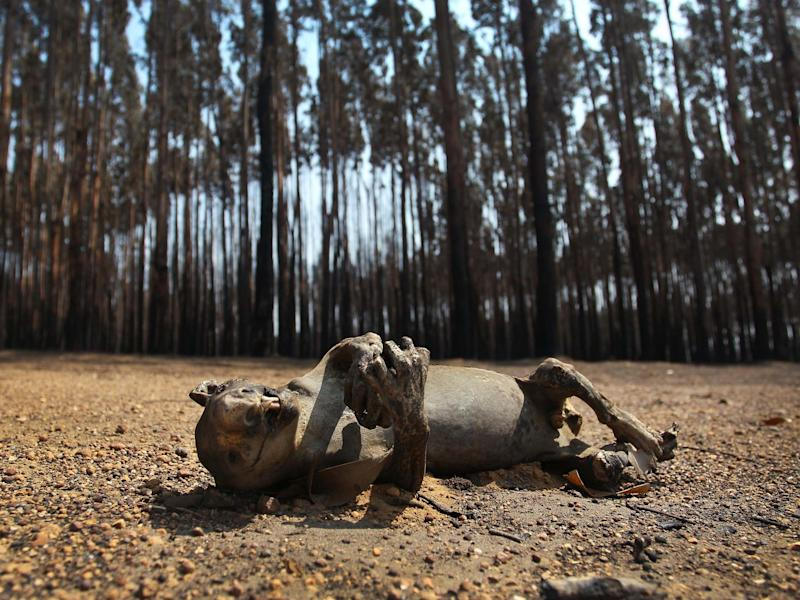 KANGAROO ISLAND, AUSTRALIA - JANUARY 08: A dead koala is seen amongst Blue Gum trees in the bushfire ravaged outskirts of the Parndana region on January 08, 2020 on Kangaroo Island, Australia. Almost 100 army reservists have arrived in Kangaroo Island to assist with clean up operations following the catastrophic bushfire that killed two people and burned more than 155,000 hectares on Kangaroo Island on 4 January. At least 56 homes were also destroyed. Bushfires continue to burn on the island, with firefighters pushing to contain the blaze before forecast strong winds and rising temperatures return. (Photo by Lisa Maree Williams/Getty Images) Lisa Maree Williams: Getty