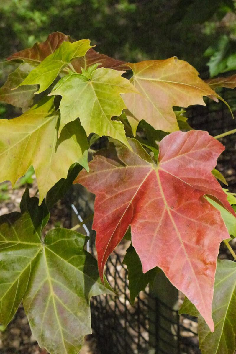 The critically endangered Acer amamiense in the collection at Westonbirt Arboretum, Gloucestershire (Dan Crowley)