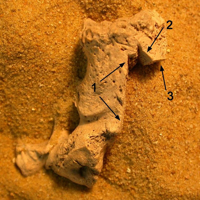 One of the excavated human bones with arrows indicating the cut marks.