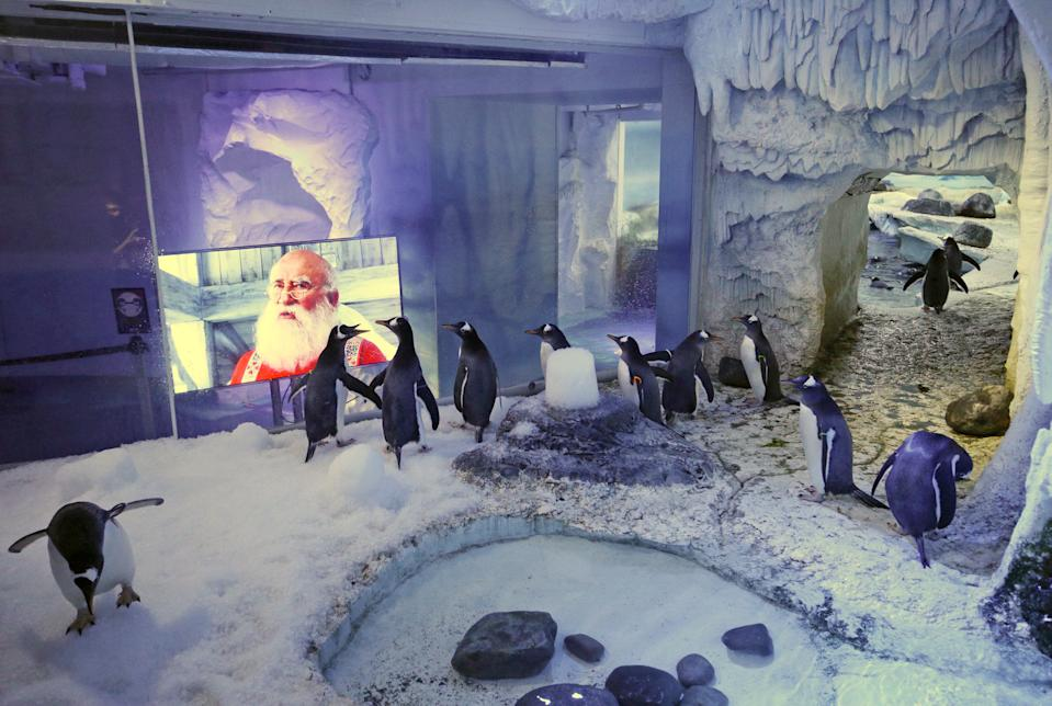 RETRANSMISSION (deleting Centre in name of venue). Gentoo penguins watching Christmas movies at the SEA LIFE London Aquarium.