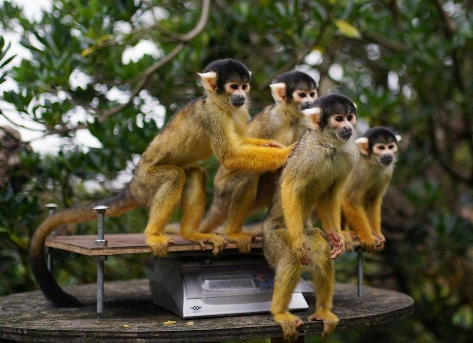 Squirrel monkeys during the annual weigh-in at ZSL London Zoo (Yui Mok/PA) (PA Wire)