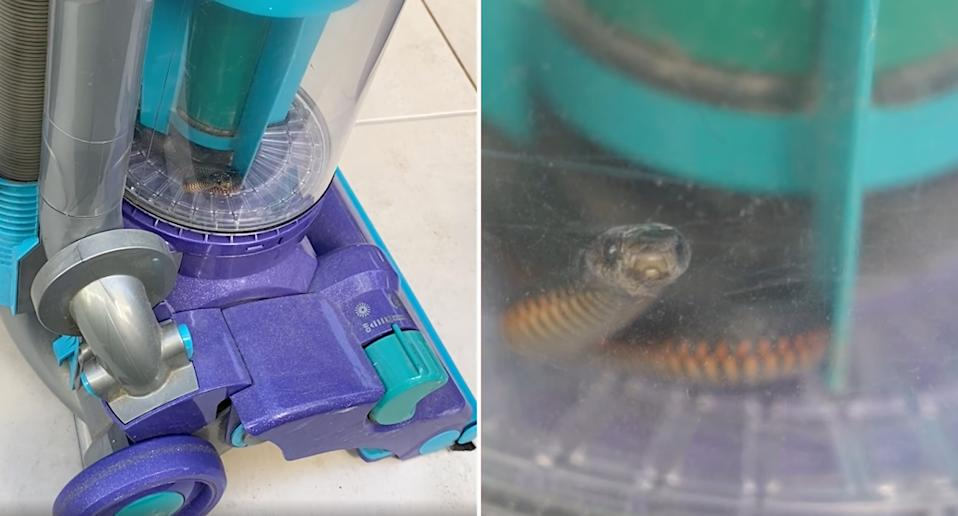 A red-bellied black snake caught in a vacuum.