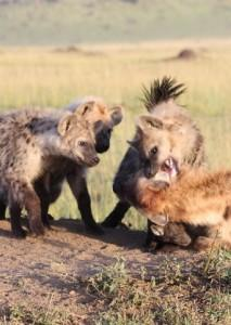 Three young hyenas gang up in an aggressive coalition against a low-ranking female.