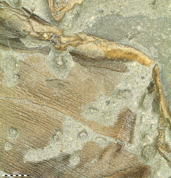 PHOTO: Fossilized skin forming the trailing edge of the right pelvic fin. (Johan Lindgren/Lund University)