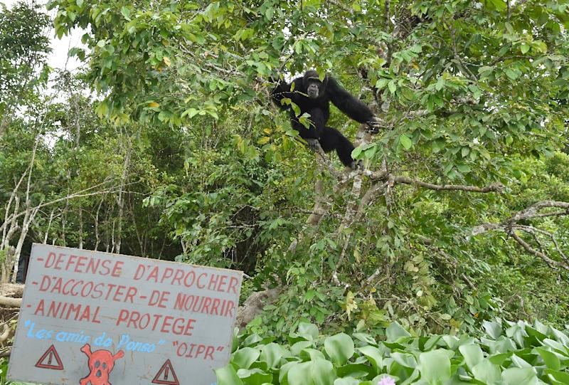 Ponso's salvation has become a textbook case for African primatologists confronted with poaching and deforestation (AFP Photo/ISSOUF SANOGO)