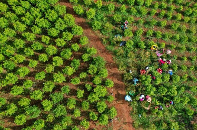 Workers toil in a coca field in the mountains of Patia in Colombia's Cauca department (AFP/Raul ARBOLEDA)