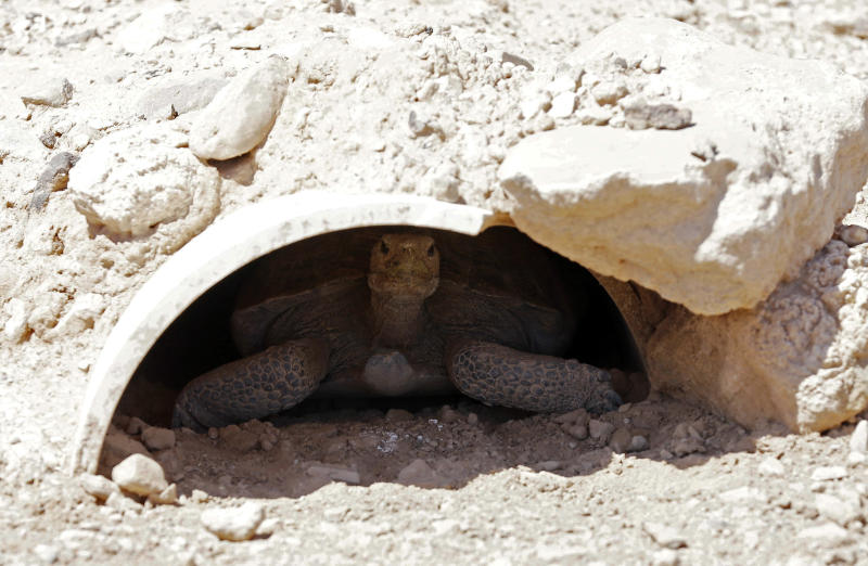 In this Aug 22, 2013, photo, a tortoise sits in the shade at the Desert Tortoise Conservation Center in Las Vegas. Federal funds are running out at the Desert Tortoise Conservation Center and officials plan to close the site and euthanize hundreds of the tortoises they've been caring for since the animals were added to the endangered species list in 1990. (AP Photo/Isaac Brekken)