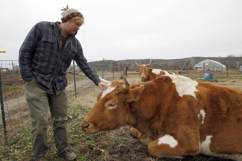 In this Thursday, Nov. 8, 2012 photo, Michael Sharry visits with Bill, front, and Lou at Green Mountain College, in Poultney, Vt.  To officials at the small Vermont liberal arts college a decision to slaughter two retired oxen and serve the meat in its dining halls is a matter of sustainable agriculture. But now, the school is under attack by those who want the oxen spared and have found a sanctuary for the animals.(AP Photo/Toby Talbot)