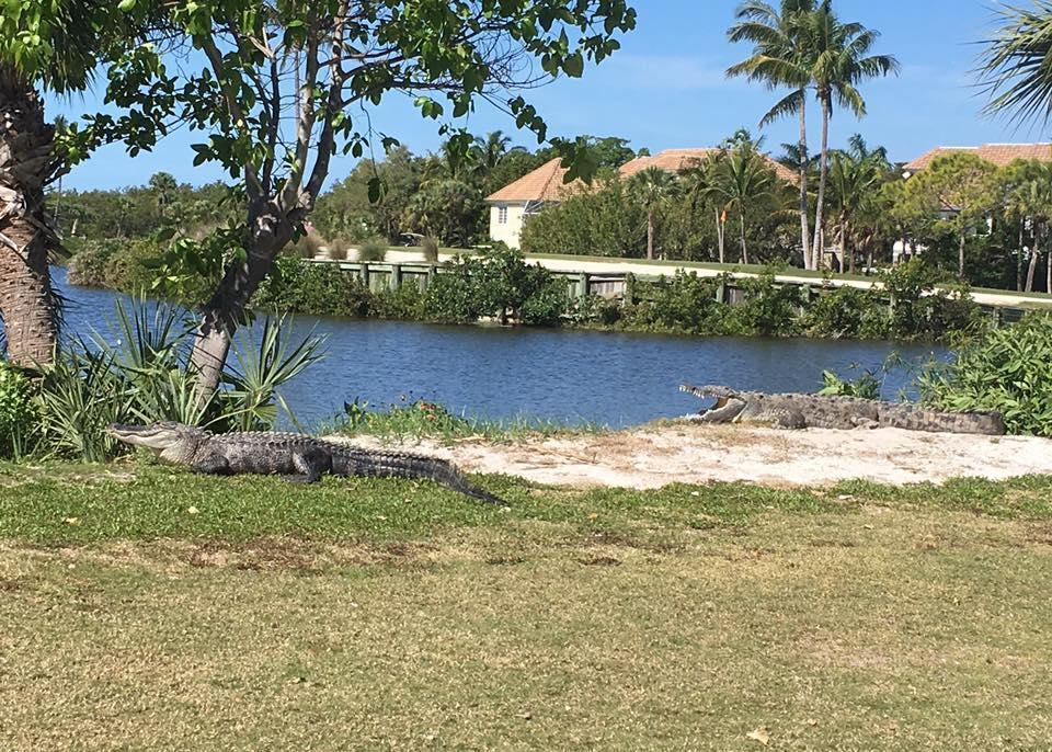 An American crocodile rests on the bank at a Sanibel golf course, one of the few places you can see a crocodile and an alligator at the same time.