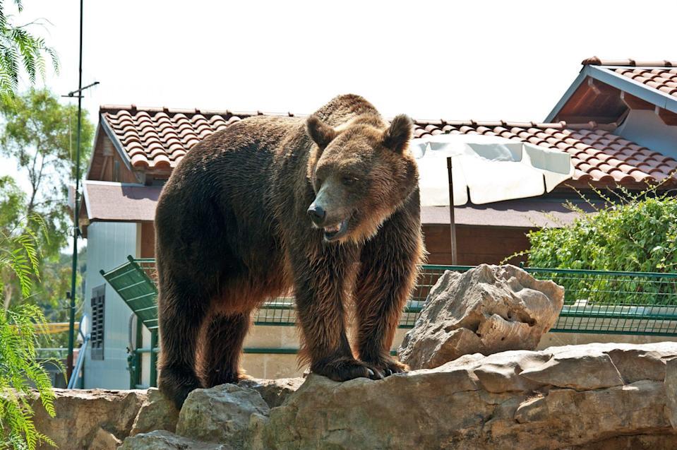 brown bear standing on wall