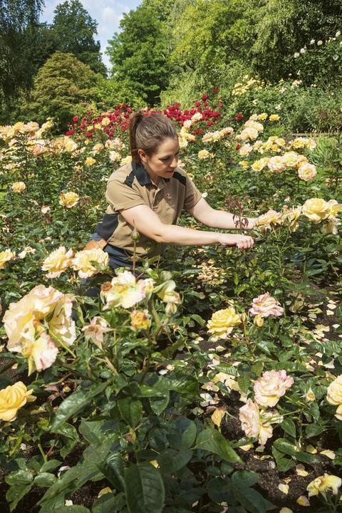 A member of the royal gardening team deadheading roses in the Rose Garden