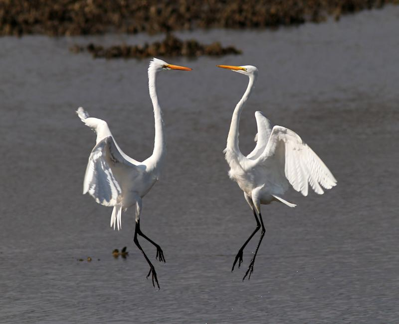 The tense moment before two egrets battle over valuable turf in South Carolina (Caters)