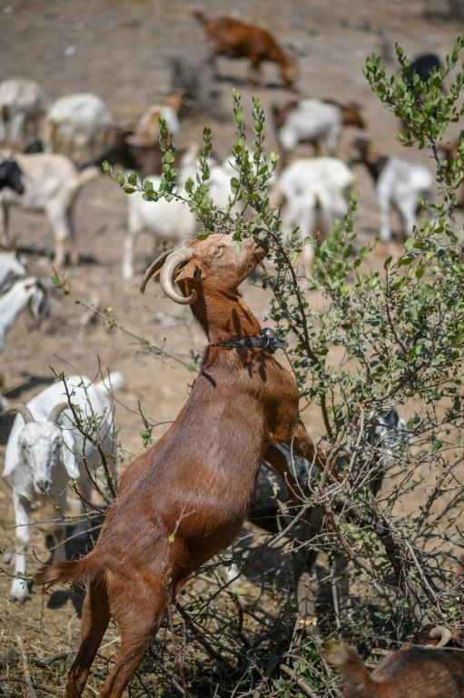The goats are just one small part of the strategy for coping with the threat of fires