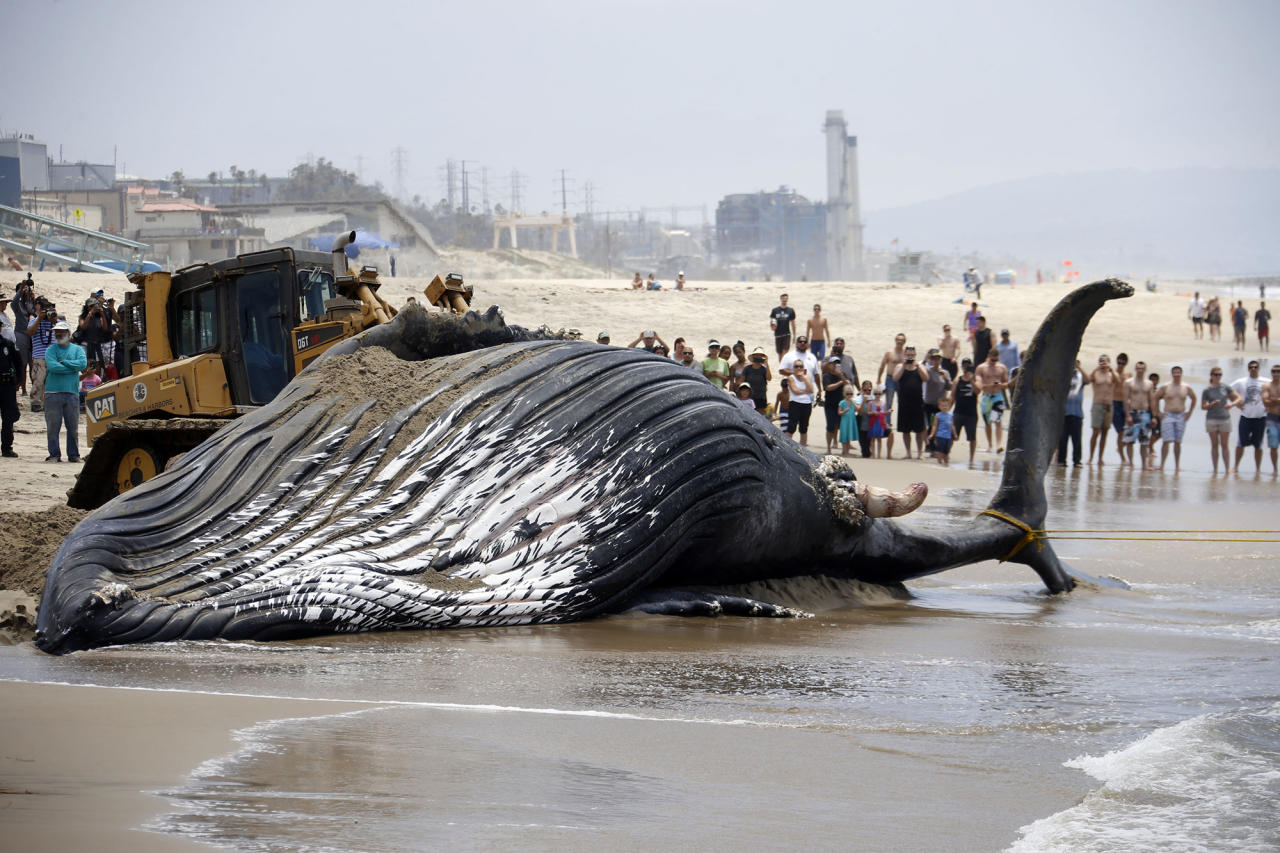 Dead humpback whale towed back out to sea