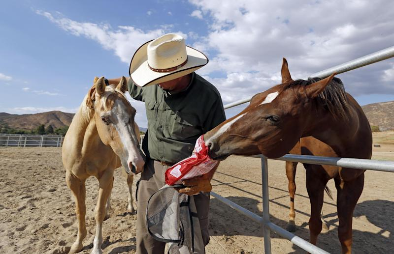 In this Aug. 29, 2013 photo, Leo Grillo pats one horse while another, Max, tries to sneak a treat from a bag at Grillo's DELTA (Dedication & Everlasting Love to Animals) Rescue complex in Acton, Calif. Nearly 35 years ago, Grillo thought he could get people to stop dumping dogs and cats in the forests and deserts of Southern California. After more than three decades, there is no end to the number of animals he finds discarded on the side of the road. Delta Rescue is now the largest no-kill, care-for-life sanctuary in the nation for abandoned pets, home to some 1,500 dogs, cats and horses with 50 employees, a state-of-the-art hospital with full-time veterinarian, and his own fire department. (AP Photo/Reed Saxon)
