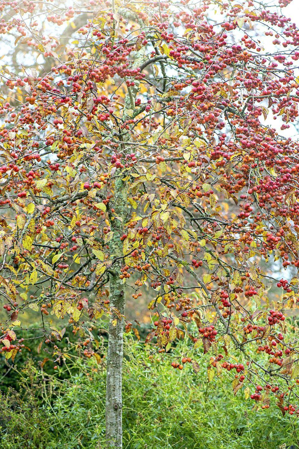 """<p>Associated with love and marriage, crap apple trees are brilliant to plant if you have the space. While the apples themselves might be small and sour, you can make some amazing recipes from crab apple trees including jams and jellies. </p><p><a class=""""link rapid-noclick-resp"""" href=""""https://www.thompson-morgan.com/p/crab-apple-butterball/TKA1781TM"""" rel=""""nofollow noopener"""" target=""""_blank"""" data-ylk=""""slk:BUY NOW VIA THOMPSON & MORGAN"""">BUY NOW VIA THOMPSON & MORGAN</a></p>"""