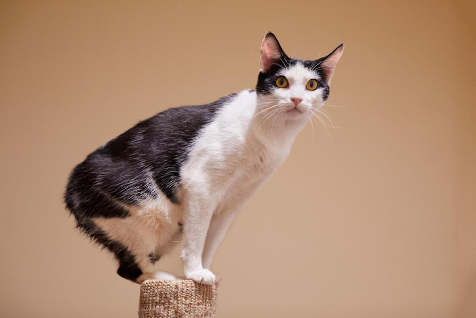 "<p>The tail-less <a href=""https://www.dailypaws.com/cats-kittens/cat-breeds/manx"" rel=""nofollow noopener"" target=""_blank"" data-ylk=""slk:Manx"" class=""link rapid-noclick-resp"">Manx</a> cats are renowned hunters, having been owned historically for chasing small prey like rodents off of their home farms and ships at sea. These cats will play a game of fetch with you and can be trained to understand vocal commands.</p>"