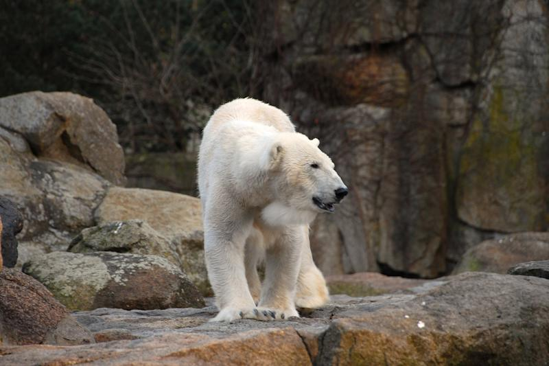 Exhausted, Starving Polar Bear Wanders Miles from Habitat to Search for Food in Russian City