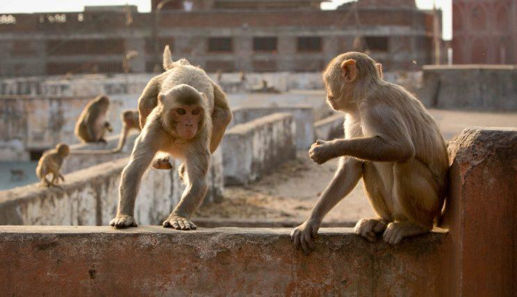 A group of rhesus macaques makes its way across Jaipur, India