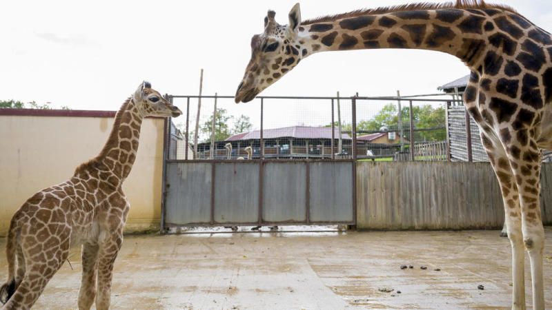 Rare baby giraffe born in captivity in French zoo for the first time in 30 years