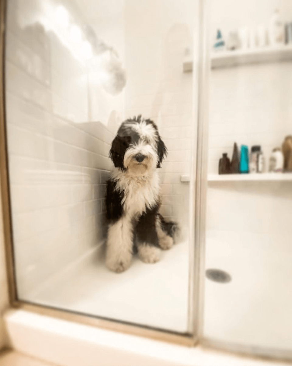 "<p>And to finish off, here's Button looking as cute as can be behind the shower screen. </p><p><strong>In need of some positivity, heartwarming countryside news and spring gardening advice? <a href=""https://hearst.emsecure.net/optiext/cr.aspx?ID=zsATrj4qAwL7PXfHOfbti0xjie5wOfecvOt8e1A3WvL5x0TsMrTgu8waUpN%2BcCNsV3wq_zCaFTleze"" rel=""nofollow noopener"" target=""_blank"" data-ylk=""slk:Sign up to our free Country Living newsletter"" class=""link rapid-noclick-resp"">Sign up to our free Country Living newsletter</a> for your weekly dose of escapism.</strong></p><p><a class=""link rapid-noclick-resp"" href=""https://hearst.emsecure.net/optiext/cr.aspx?ID=zsATrj4qAwL7PXfHOfbti0xjie5wOfecvOt8e1A3WvL5x0TsMrTgu8waUpN%2BcCNsV3wq_zCaFTleze"" rel=""nofollow noopener"" target=""_blank"" data-ylk=""slk:SIGN UP"">SIGN UP</a></p>"