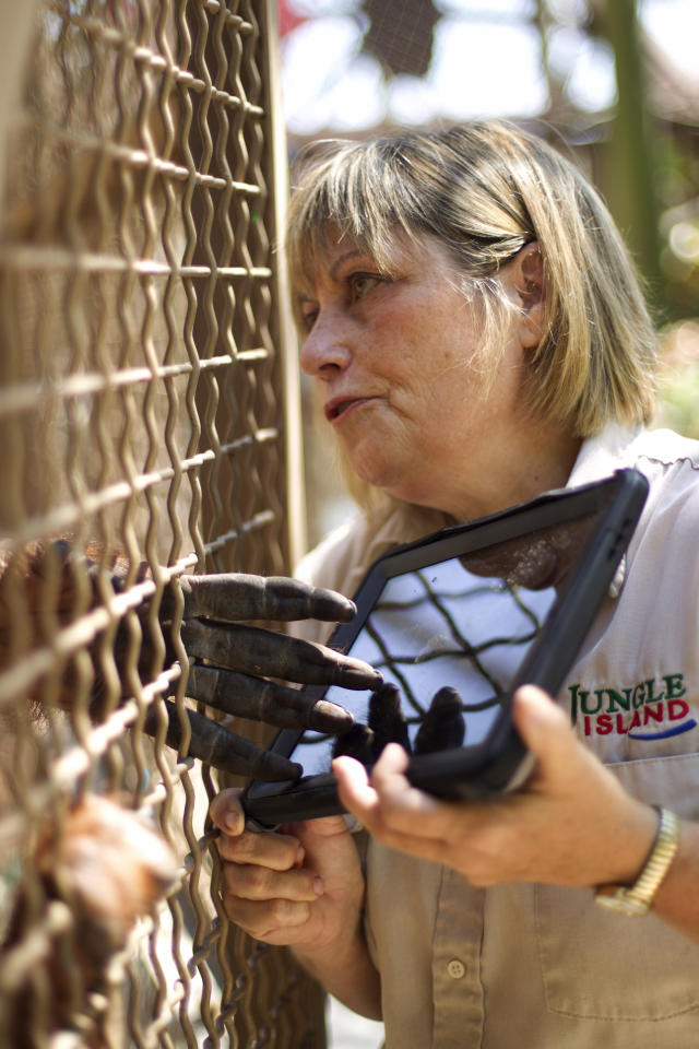 In this April 4, 2012 photo, Linda Jacobs uses an IPAD as she works with an orangutan at Jungle Island in Miami. With advancements in tablet computer technology, workers at Jungle Island in Miami are using iPads to better communicate with their orangutans. Jacobs, who oversees the program, says orangutans are extremely intelligent but limited by their physical inability to talk. (AP Photo/J Pat Carter)