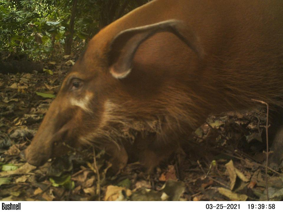 Red River hogs were among the array of wildlife seen in the images (WCS Nigeria/PA)