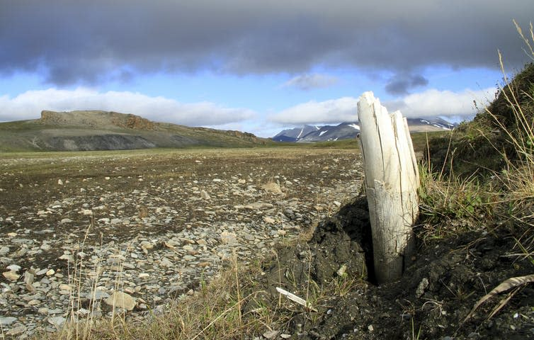 Woolly mammoth tusk emerging from permafrost.
