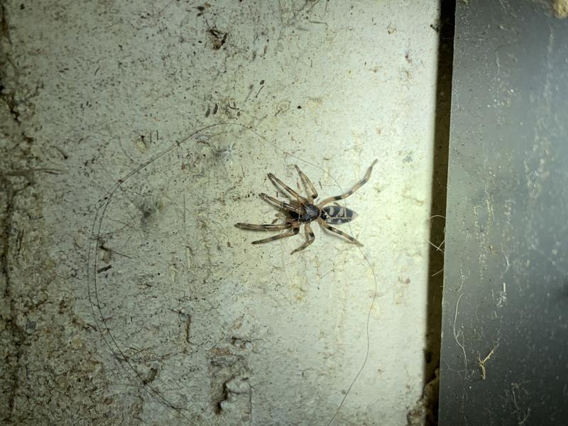 A juvenile whitetail spider identified by Mr Shoard. Source: Supplied