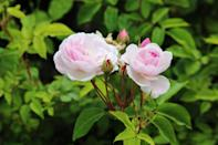 <p>This soft pink, mildly fragrant rose blooms on a thornless shrub, so it's great if you have kids—or if you're accident prone! It does best in climates with mild winters and hot summers. </p>