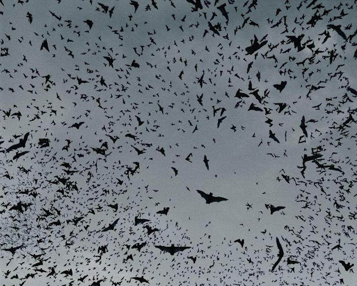 """<p>Nowadays, many of us associate bats with Halloween — and that has its historical origins, too. The Druids' Samhain bonfires attracted bugs which, in turn, drew bats to have a tasty meal. In later years, various folklore emerged citing bats as harbingers of death or doom. In <a href=""""https://www.batcon.org/article/bats-in-belfries-and-other-places/#:~:text=Bats%20in%20buildings%20have%20also,in%20the%20house%20will%20move."""" rel=""""nofollow noopener"""" target=""""_blank"""" data-ylk=""""slk:Nova Scotian mythology"""" class=""""link rapid-noclick-resp"""">Nova Scotian mythology</a>, a bat settling in a house means a man in the family will die. If it flies around and tries to escape, a woman in the family will perish instead. </p>"""