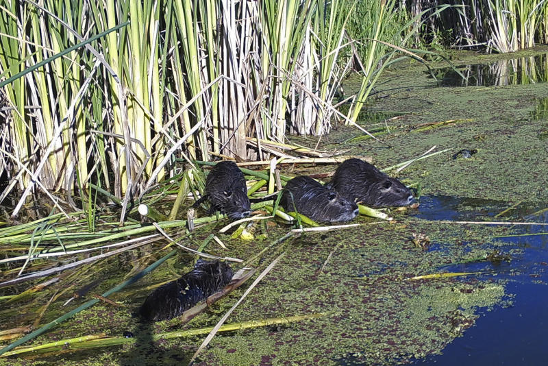 This May 18, 2018, remote camera image provided by the California Department of Fish and Wildlife shows nutria in Merced County, Calif. With $10 million in state funding, the Department of Fish and Wildlife is preparing to deploy new tactics in its efforts to eradicate nutria. (California Department of Fish and Wildlife via AP)