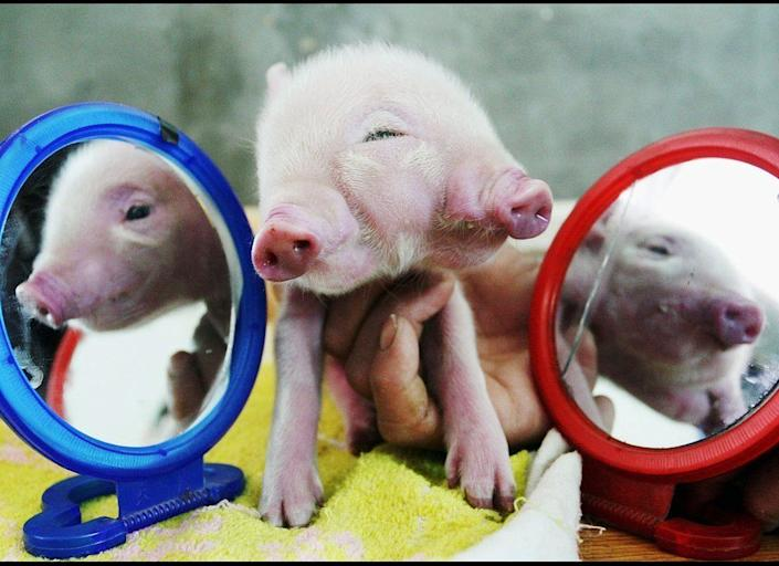 A newly born piglet with one head, two mouths, two noses and three eyes is reflected by mirrors on March 6, 2007, in China.