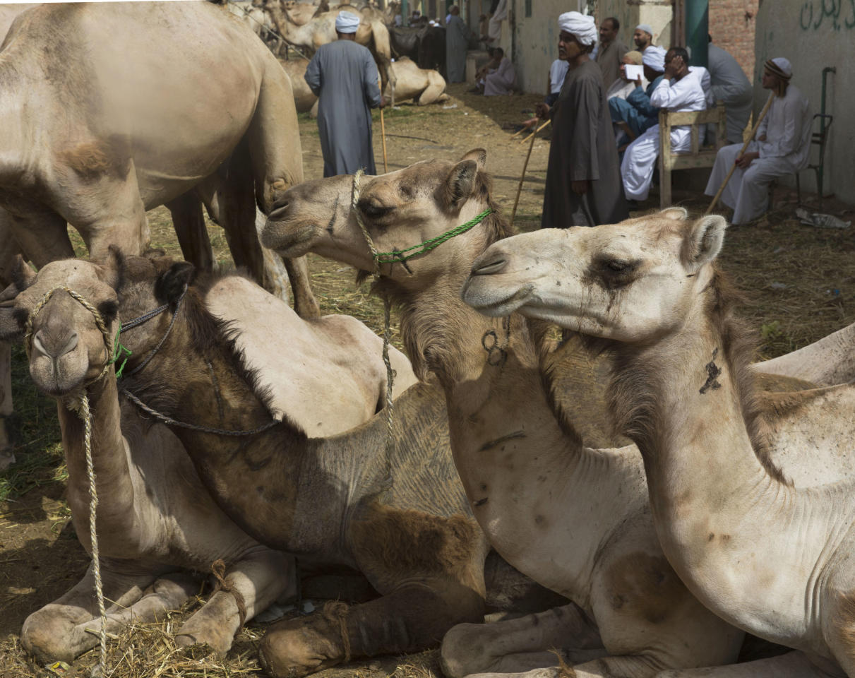 In this photo taken Friday, May 31, 2013, camels rest during a weekly camel market in Birqash, Egypt. Scientists have found a clue that suggests camels may be involved in infecting people in the Middle East with the MERS virus. In a preliminary study published on Friday, Aug. 9, 2013, European scientists found traces of antibodies against the MERS virus in dromedary, or one-humped, camels, but not the virus itself. (AP Photo/Hiro Komae)