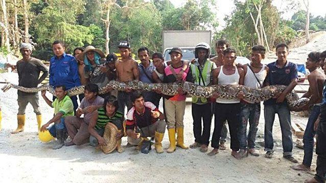 The massive snake spent its whole life in the wild before it was captured last week. Source: Malaysian Civil Defence Force/Herme Herisyam