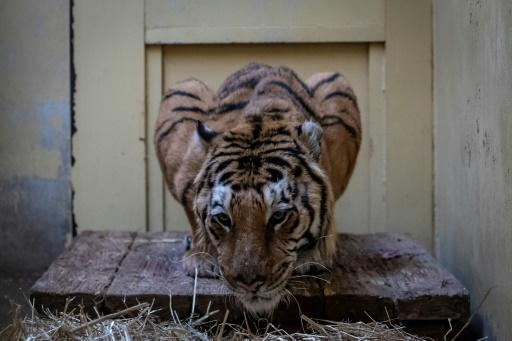 Gogh, a male tiger, is seen in his temporary enclosure at the zoo in Poznan, Poland, on November 6