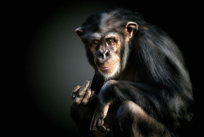 A chimpanzee giving the camera a hand gesture. (Photo: Pedro Jarque Krebs/Caters News)
