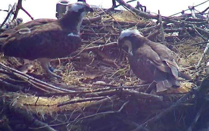 Destruction of a protected osprey site can carry a six-month jail sentence - Wales News Service
