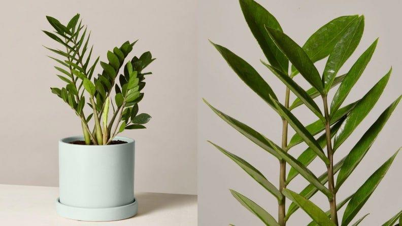 This cute plant is truly easy to care for, making it a great choice for beginners.