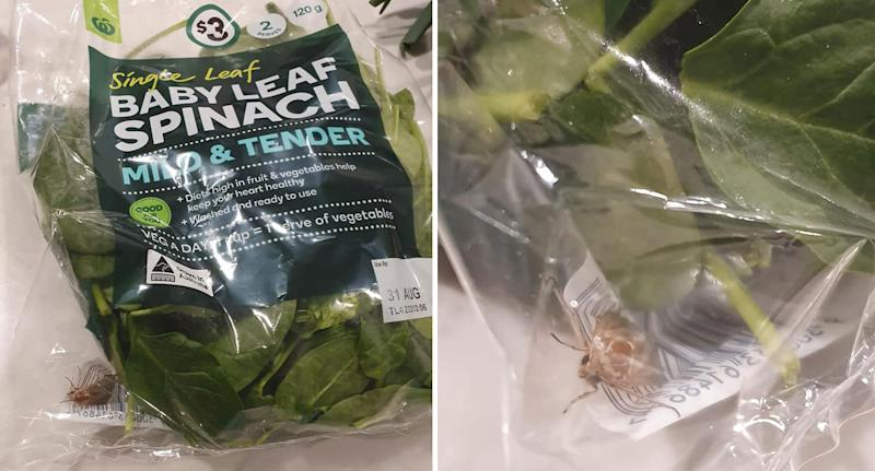 A live bug that appears to be a moth shown inside a Woolworths package of spinach leaves.