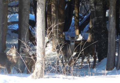 Too Much Deer Pee Changing Northern Forests