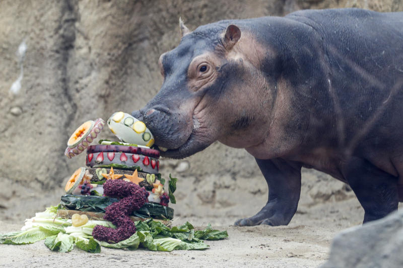 Fiona, a Nile Hippopotamus, eats her specialty birthday cake to celebrate turning three-years old this Friday, in her enclosure at the Cincinnati Zoo & Botanical Garden, Thursday, Jan. 23, 2020, in Cincinnati. The Cincinnati Zoo is using the third birthday of its beloved premature hippo as a way to raise money for Australian wildlife affected by the recent bushfires. Instead of sending birthday gifts, the zoo is asking people to buy T-shirts that will directly benefit the Bushfire Emergency Wildlife Fund. (AP Photo/John Minchillo)