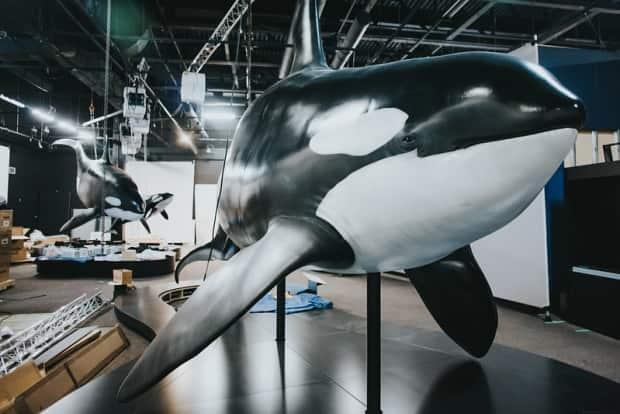 Orcas: Our Shared Future is scheduled to run at the Royal B.C. Museum from April 16 to Jan. 9, 2022.  (Royal BC Museum - image credit)